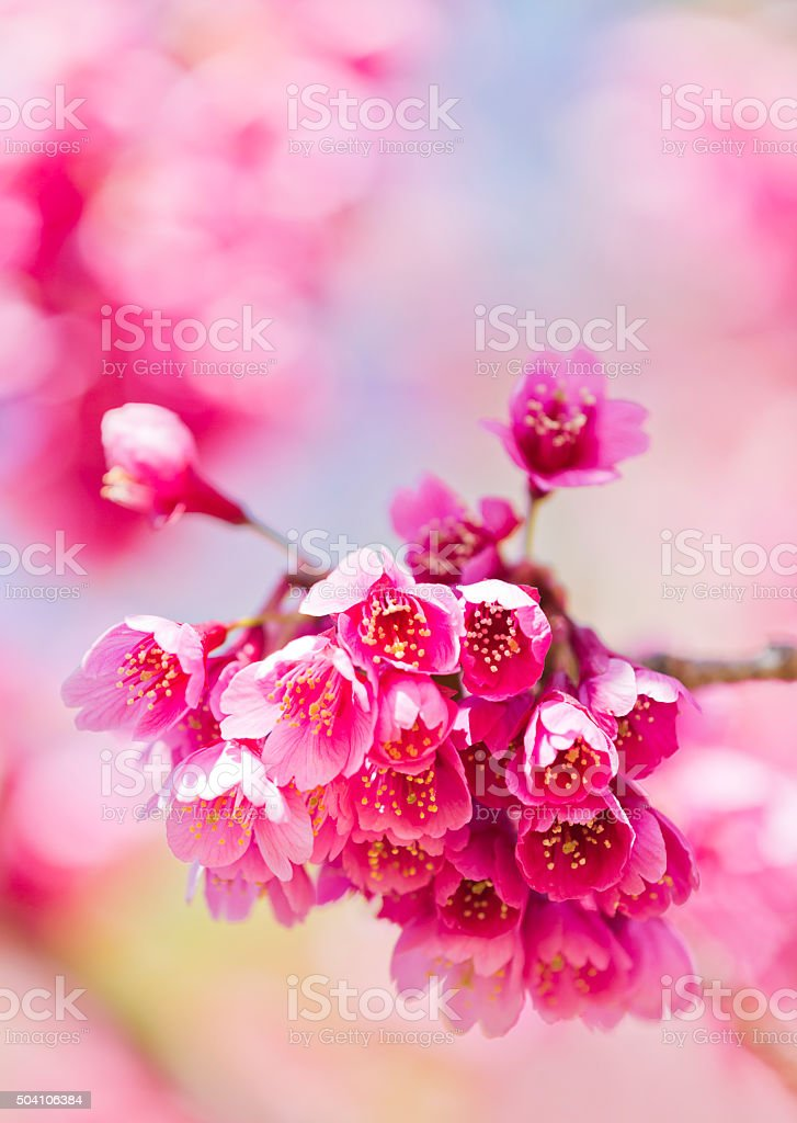 Pink Cherry Blossom Close up stock photo