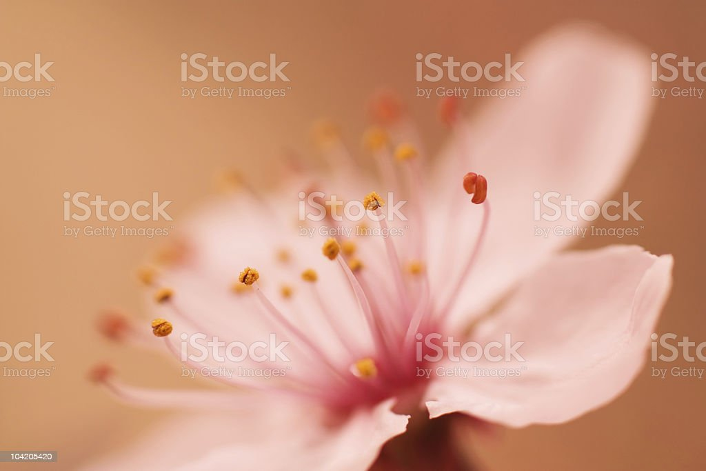 Pink Cherry blossom close-up royalty-free stock photo