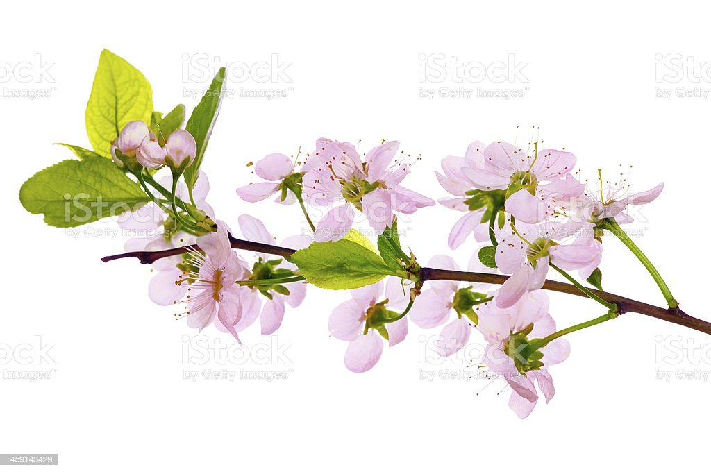 pink cherry blossom close-up stock photo