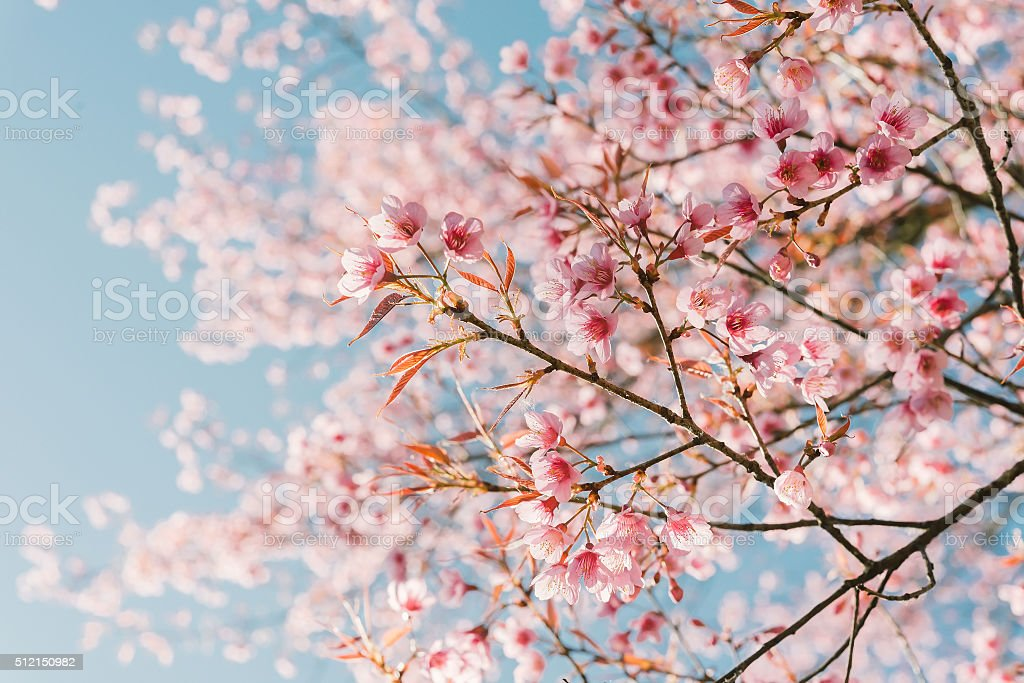 Pink cherry blossom flower stock photo