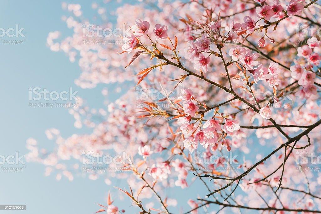Pink cherry blossom flower stock photo
