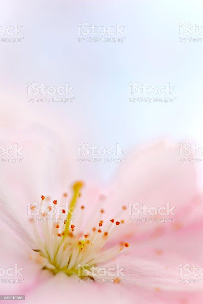Pink cherry blossom flowerhead macro stock photo