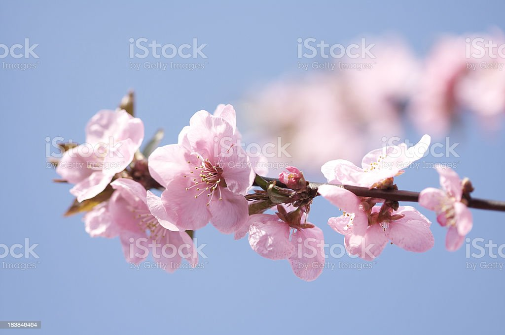 Pink Cherry Blossom flowers royalty-free stock photo