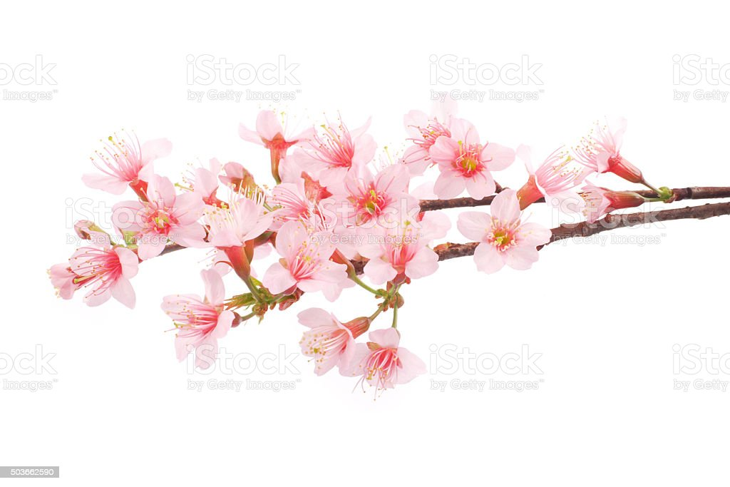 Pink Cherry blossom flowers white background stock photo