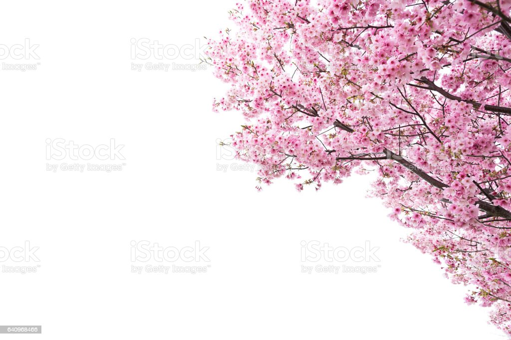 Pink Cherry Blossom on White stock photo