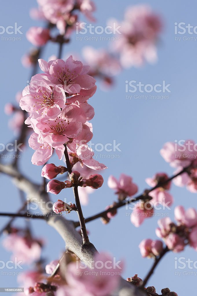 Pink cherry blossom royalty-free stock photo
