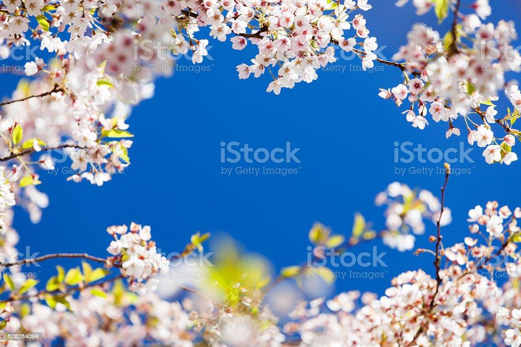 Pink cherry blossom. stock photo