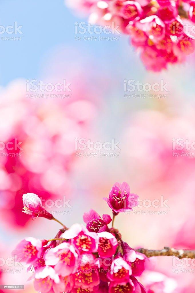 Pink Cherry Blossom stock photo
