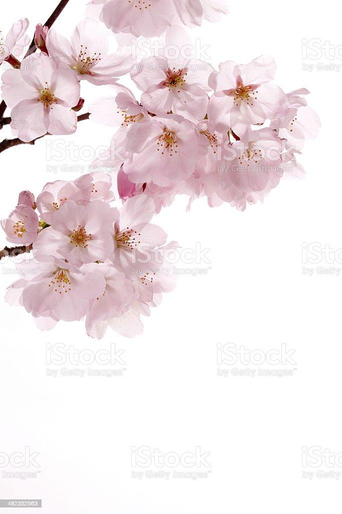 Pink cherry blossom sakura on white stock photo