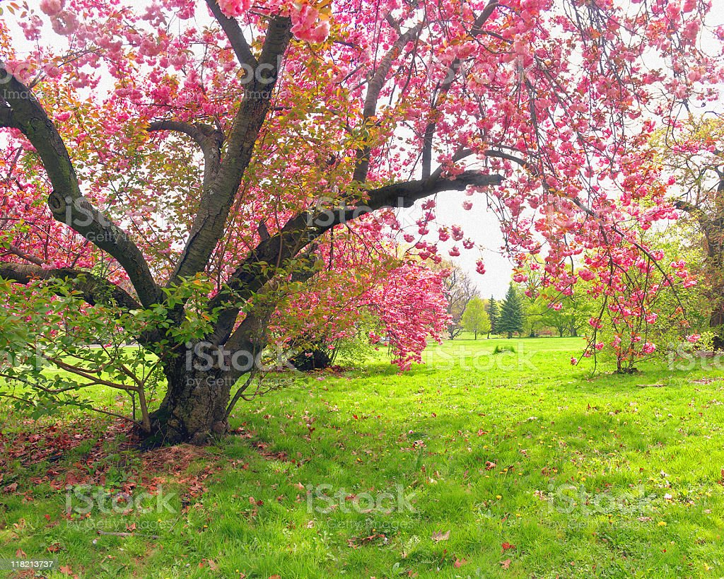Pink Cherry Blossom Tree - Spring in NJ royalty-free stock photo