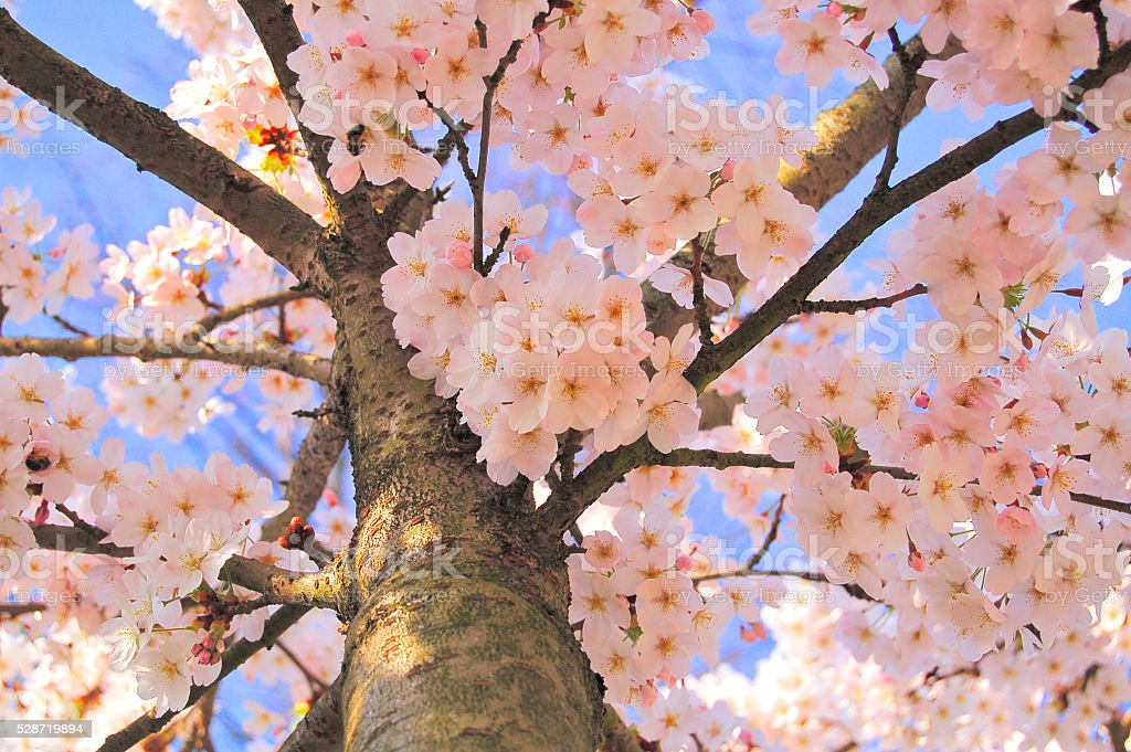 Pink Cherry Blossom Tree with Blue Sky stock photo