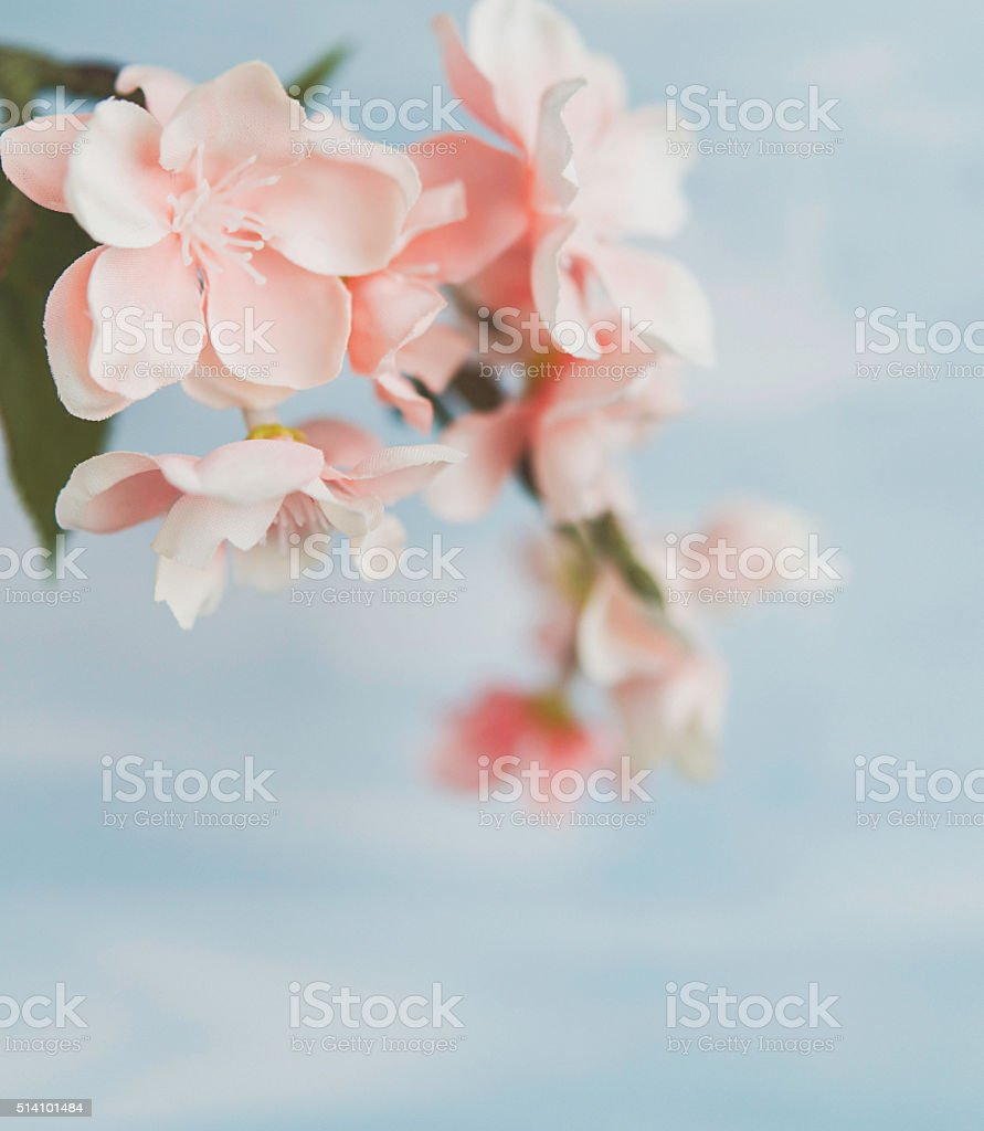 Pink cherry blossoms against blue background stock photo
