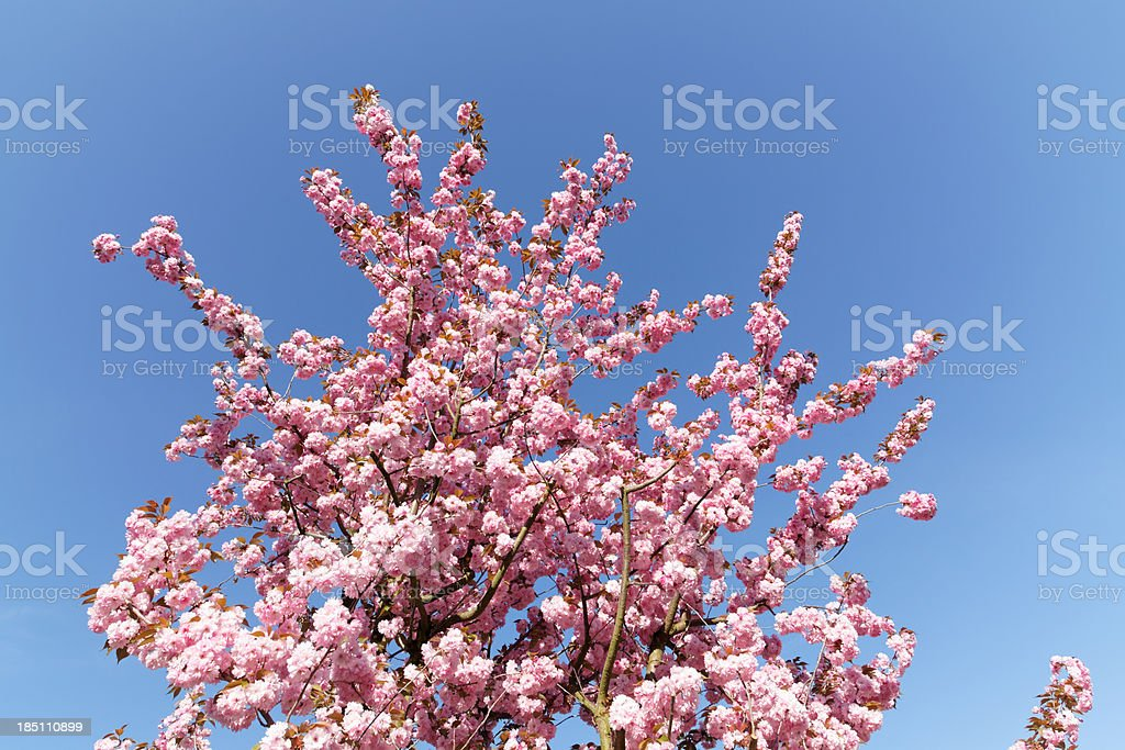 pink cherry blossoms against blue sky royalty-free stock photo