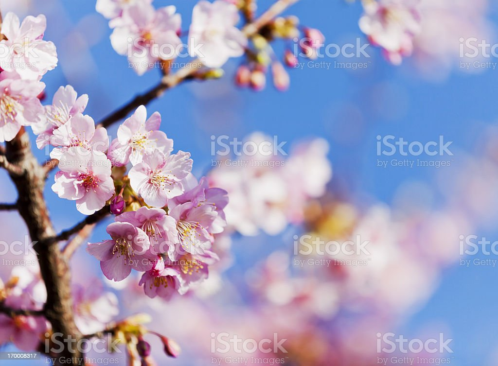 Pink Cherry Blossoms against Clear Blue Sky royalty-free stock photo