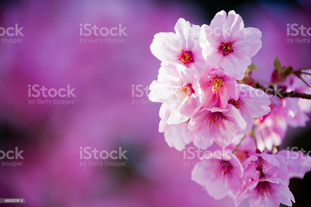 Pink Cherry Blossoms Close Up stock photo