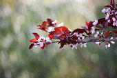 'Pink Cherry Blossoms, Flower, New-Life, Spring, Shallow Depth-of'