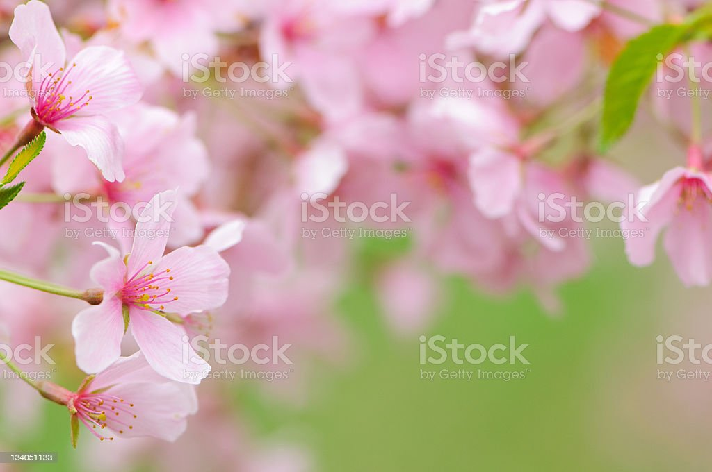 Pink cherry blossoms frame royalty-free stock photo