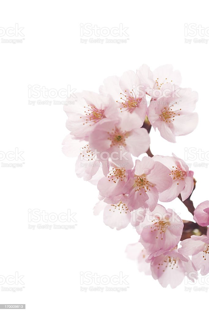 Pink Cherry Blossoms On White royalty-free stock photo