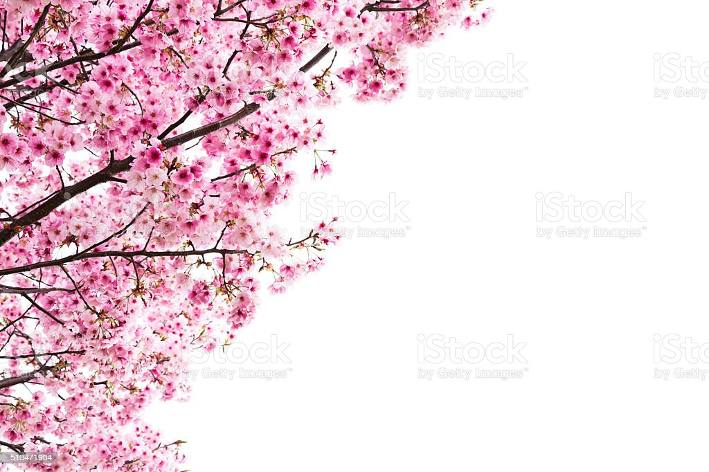 Pink Cherry Blossoms on White stock photo