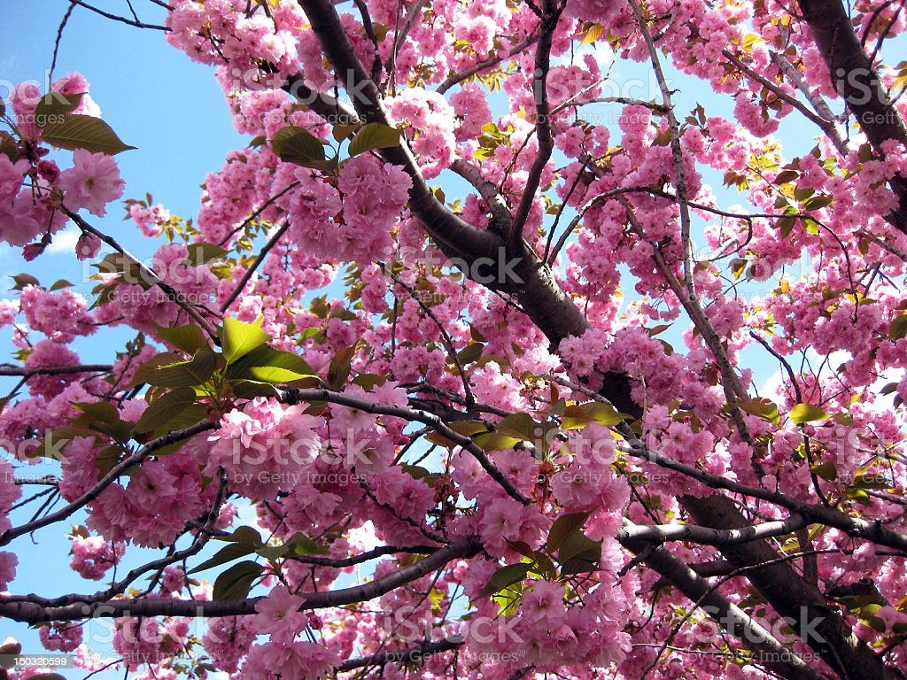 Pink Cherry Blossoms stock photo