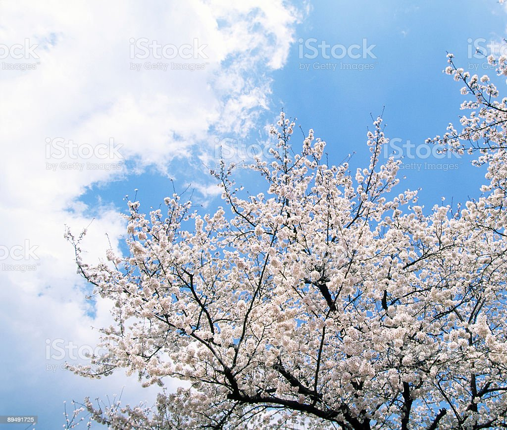 Pink cherry blossoms trees royalty-free stock photo