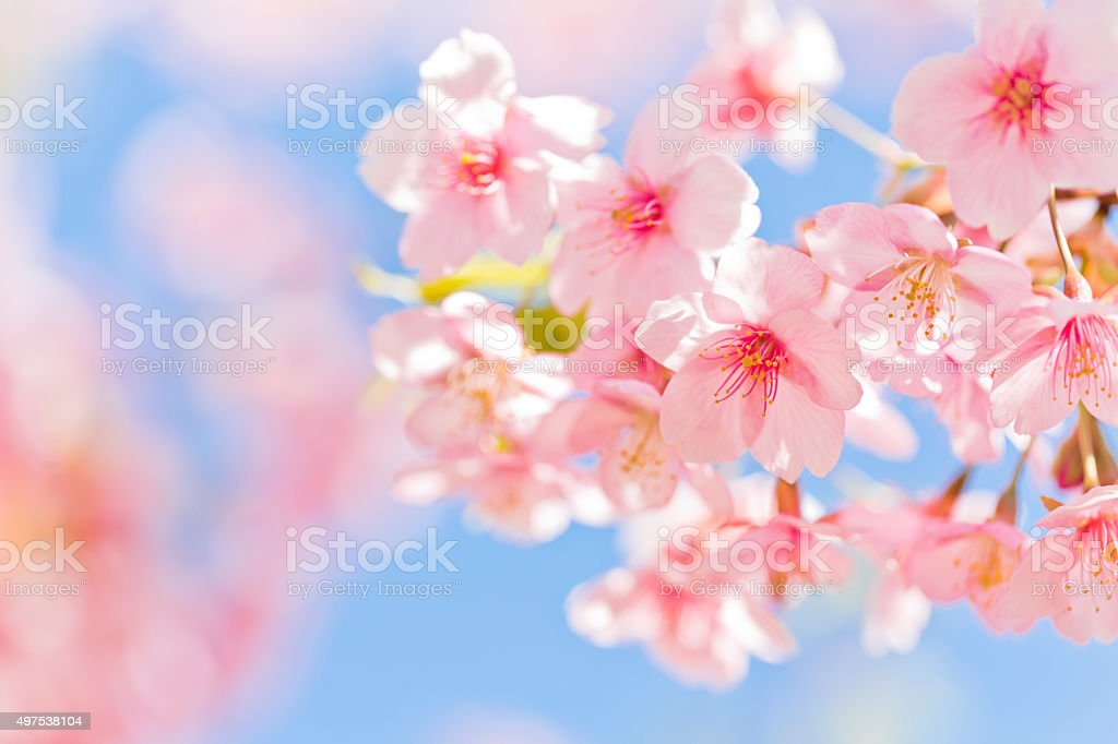 Pink Cherry Blossoms With Sunlight stock photo