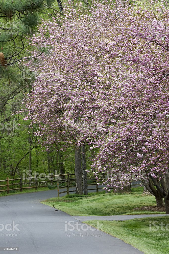 Pink Cherry Tree Blooms royalty-free stock photo