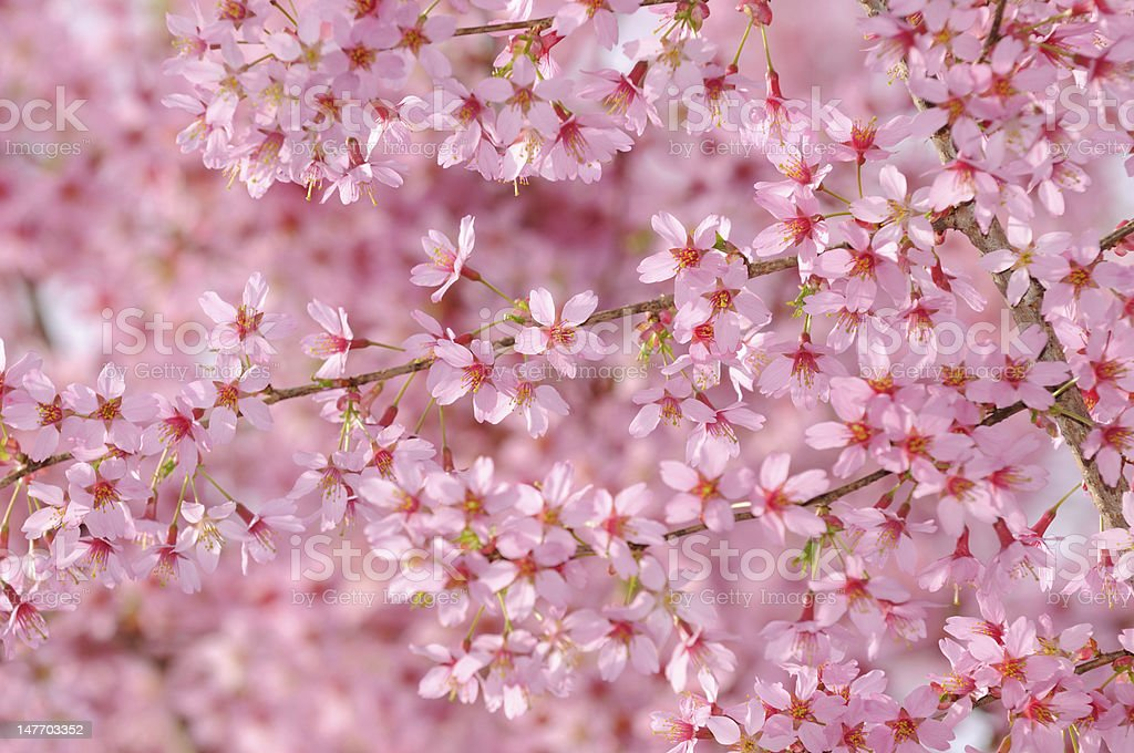 Pink Cherry Tree Flower Background stock photo