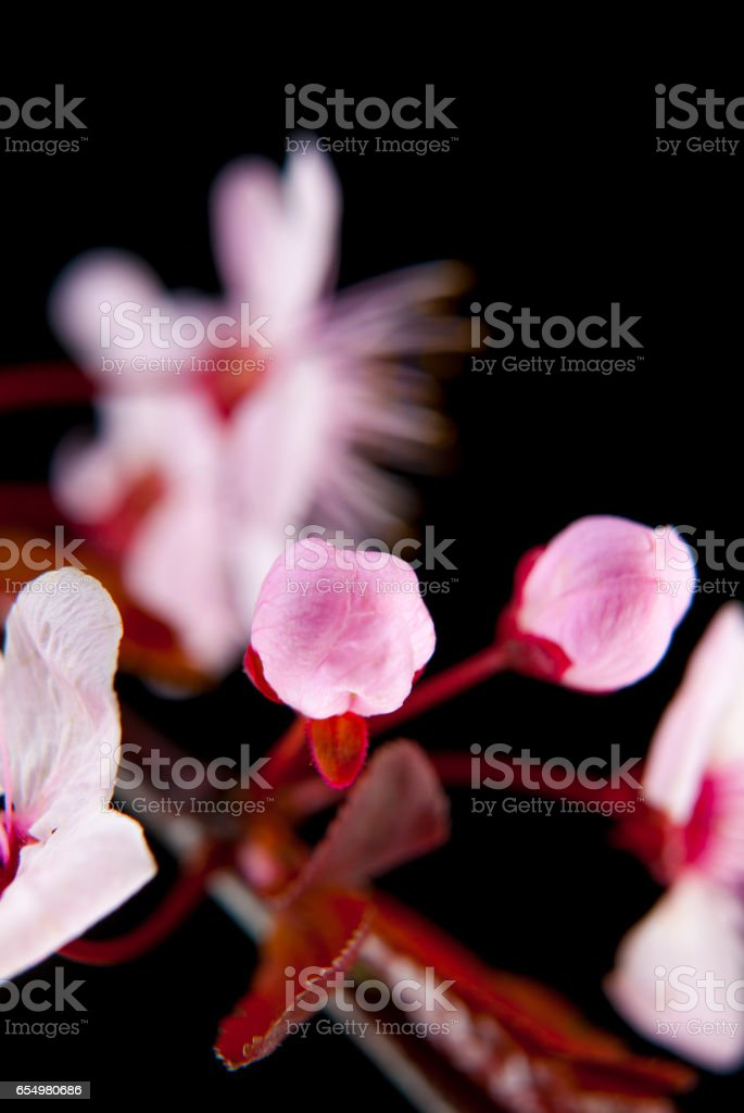 Pink cherry tree flowers blossoms stock photo