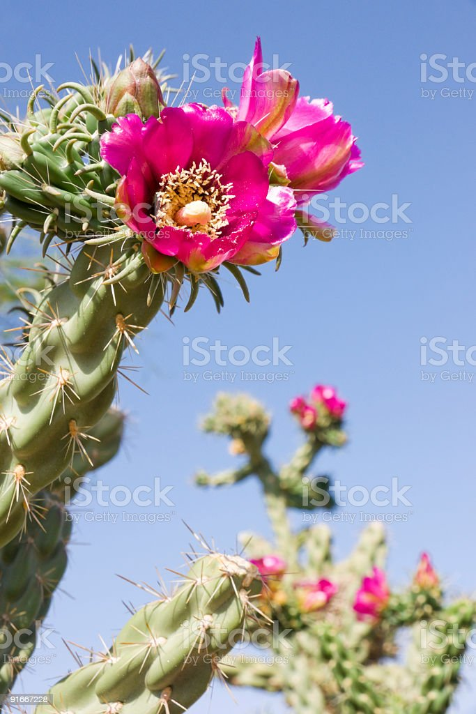 Pink cholla cactus plant in bloom shown from below stock photo