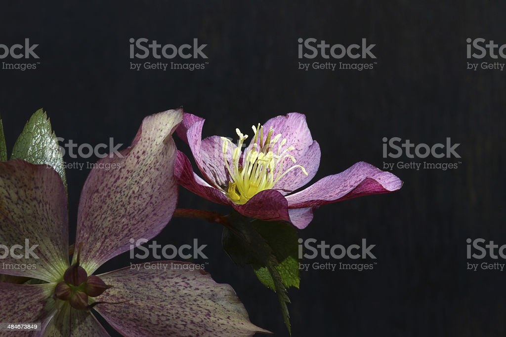 Pink Christmas rose Hellebore niger flowers stock photo