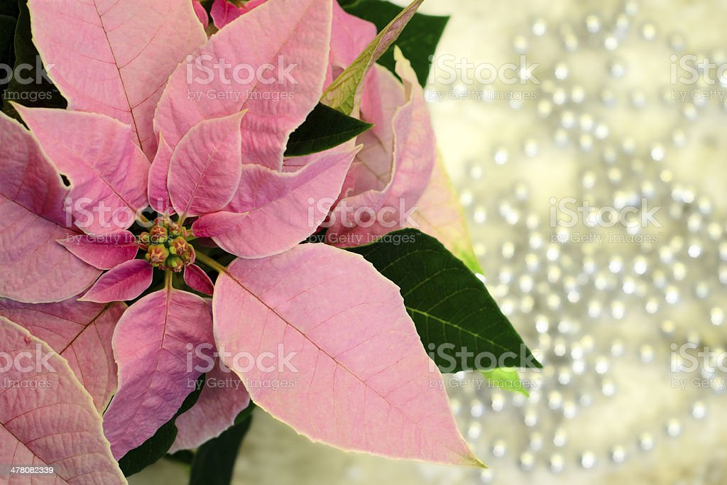 Pink Christmas star flower royalty-free stock photo