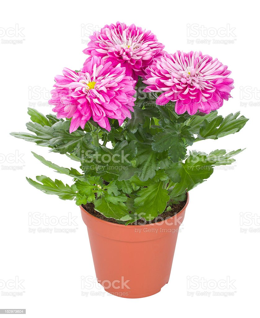 pink chrysanthemum flowers in pot royalty-free stock photo