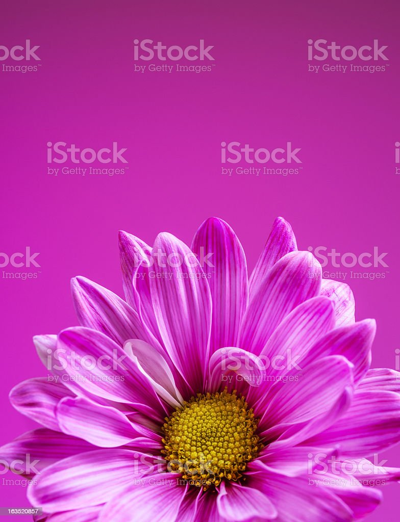 Pink chrysanthemum on a pink background royalty-free stock photo