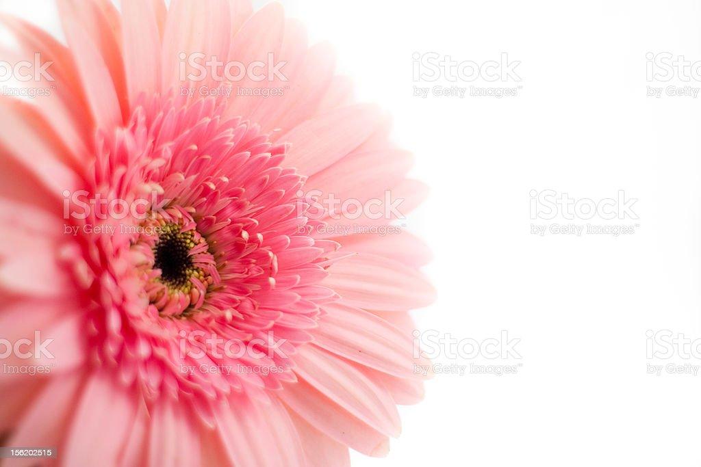 Pink Chrysanthemum stock photo
