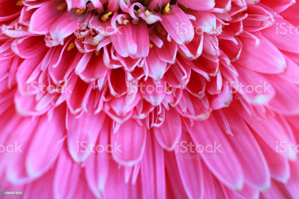Pink Chrysanthemum royalty-free stock photo