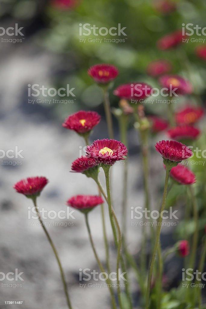 pink chrysanthemums (XL) royalty-free stock photo