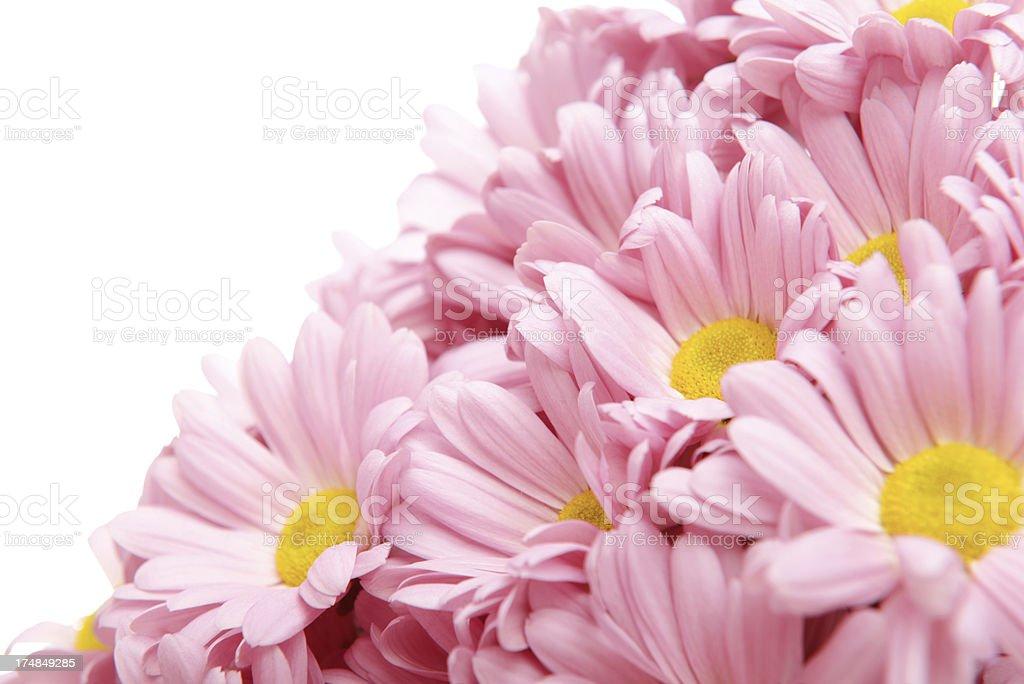 pink chrysanthemums royalty-free stock photo