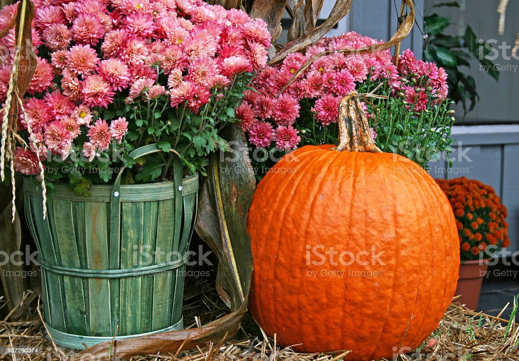 Pink Chrysanthemums with a Pumpkin stock photo
