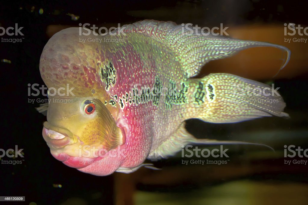 pink cichlid royalty-free stock photo
