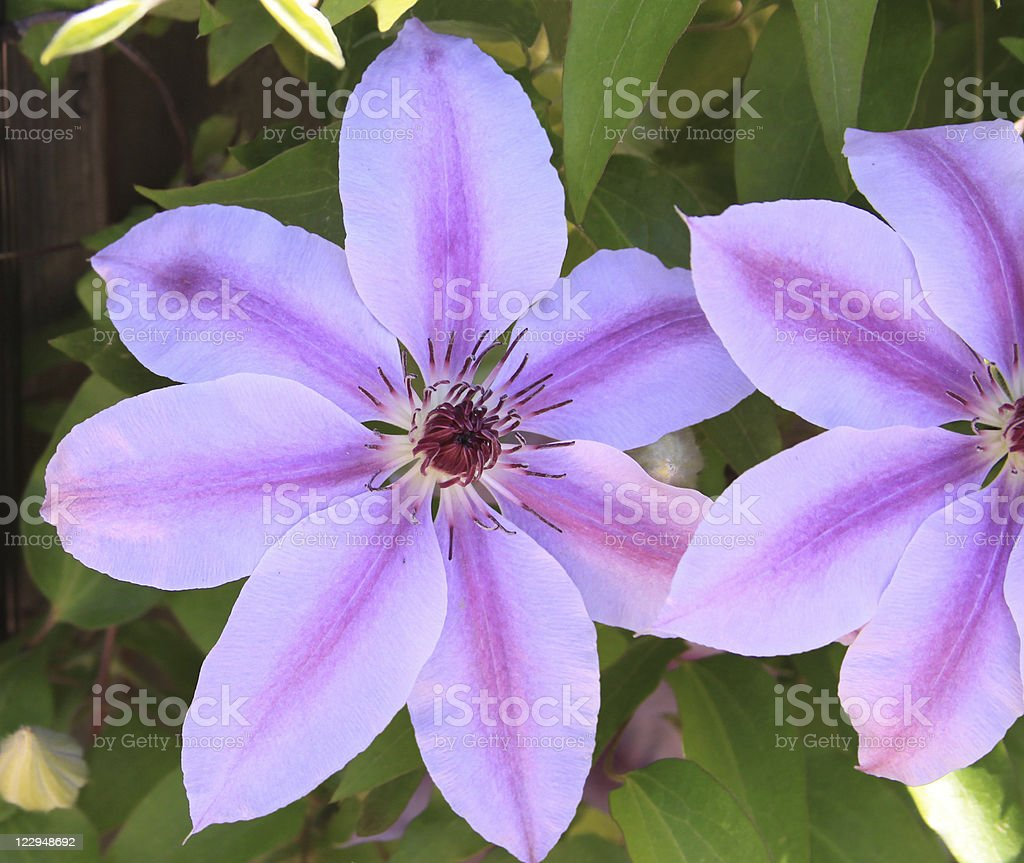 Pink Clematis Flowers royalty-free stock photo
