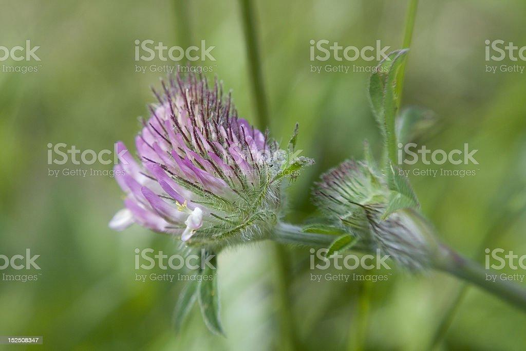 Pink Clover closeup among grass stock photo