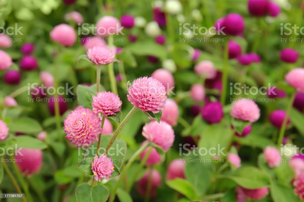 Pink clover flowers royalty-free stock photo