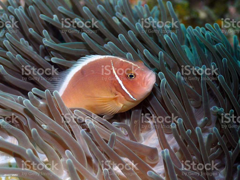 Pink Clownfish in Tropical Sea stock photo
