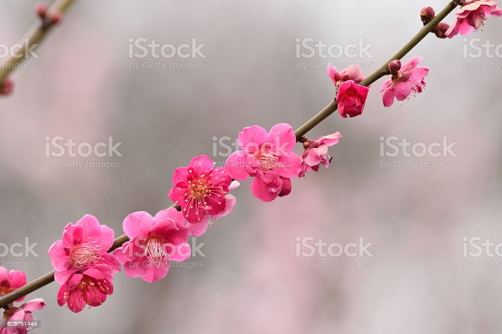 Pink colorful Japanese plum blossoms stock photo