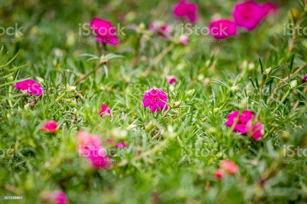 Pink Common Purslane stock photo