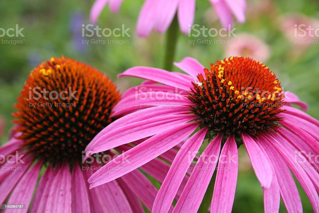Pink Coneflower royalty-free stock photo