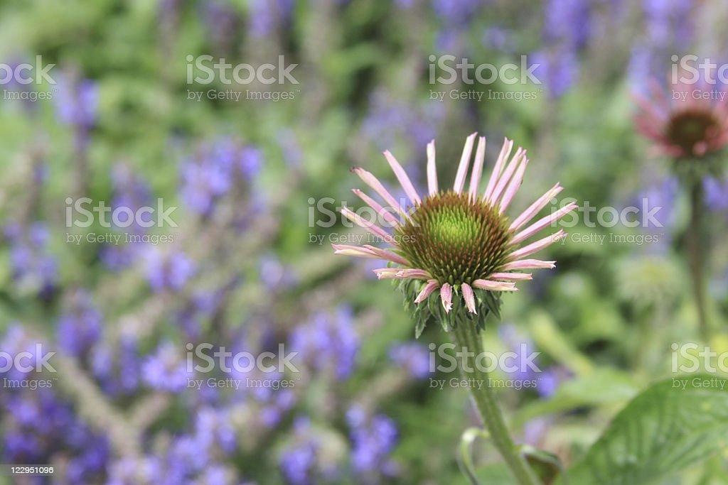 Pink Coneflower/Echinacea stock photo