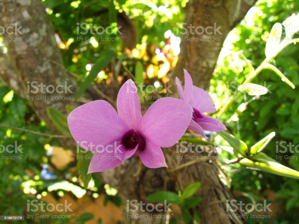 Pink Cooktown Orchid in Garden stock photo