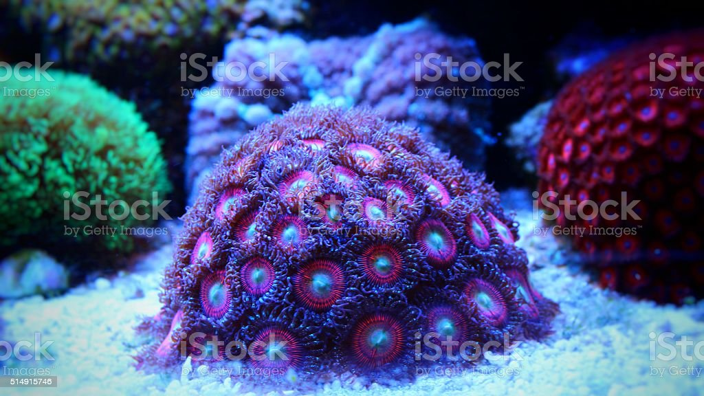 Pink coral (zoanthids) stock photo